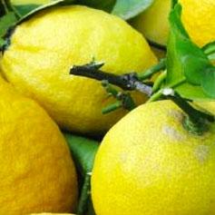 C_limoni