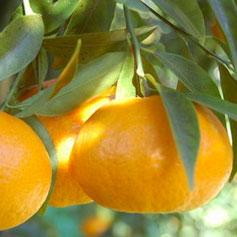 C_mandarinoTardivo