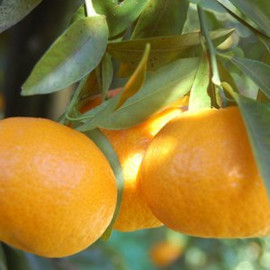 LENOSTREARANCE_mandarino